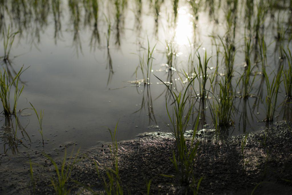 田植え直後の稲